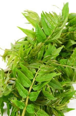 Toona sinensis 免版税图像