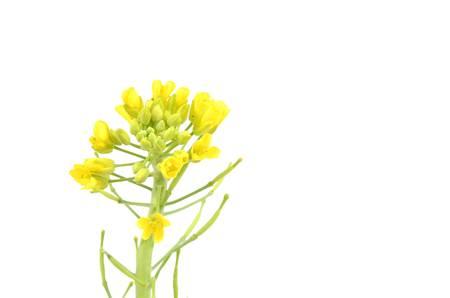 napus: Rape flower Stock Photo