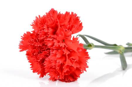Red carnation Stock Photo - 12976923