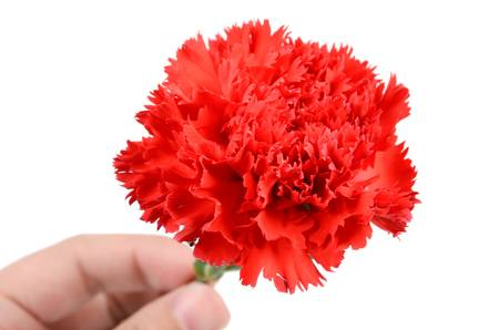 Red carnation Stock Photo - 12977126