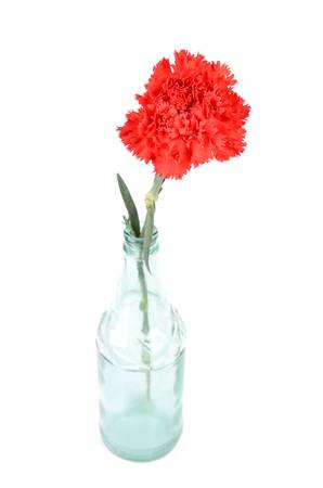 Red carnation photo