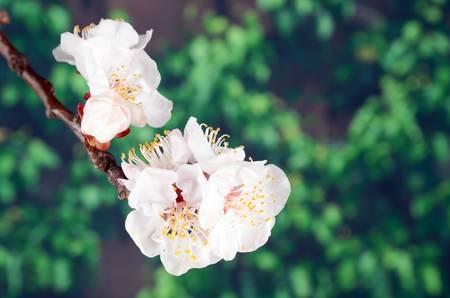 peach blossom: Flor de durazno