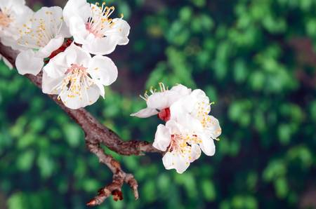 Peach blossom photo