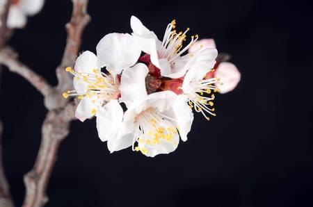 Pach blossom Stock Photo - 13026901