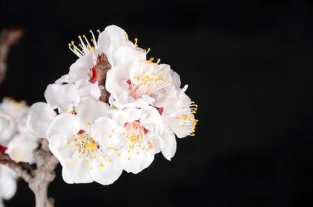 Pach blossom photo