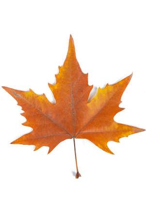 Plane tree leaf photo
