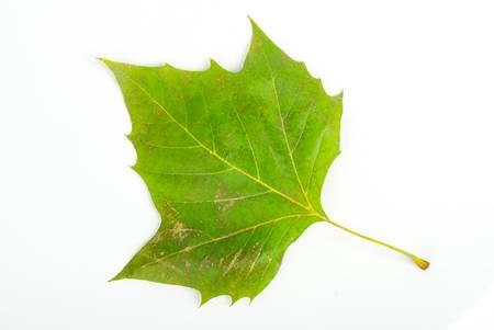 London plane leaf photo