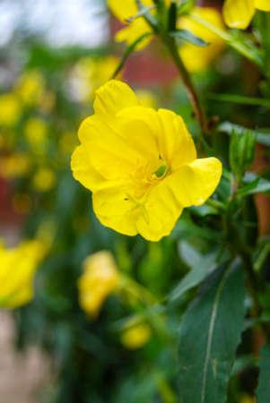 oenothera biennis: Evening primrose