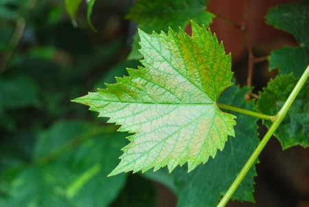 leaf grape: Uva de hoja