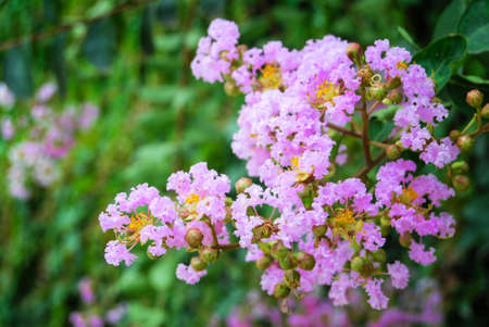 Crape myrtle photo