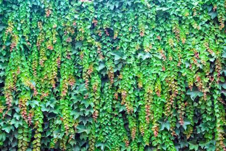 ivies: Boston ivy