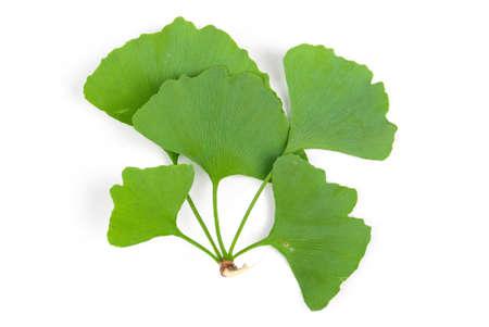 Ginkgo leaf photo