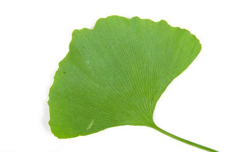ginkgo: Ginkgo leaf