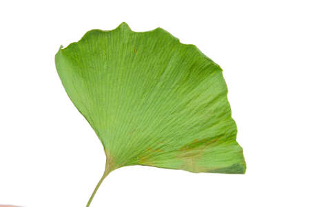 Ginkgo leaf photo