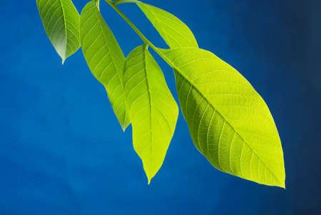 Walnut leaf photo