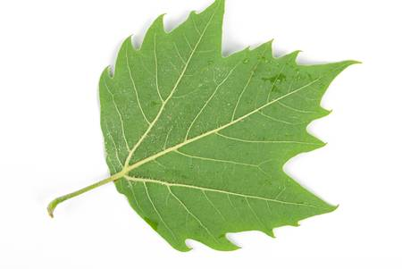 Plane tree leaf photo