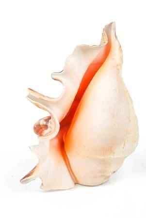 Conch photo