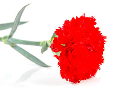 Carnation Stock Photo - 14328463