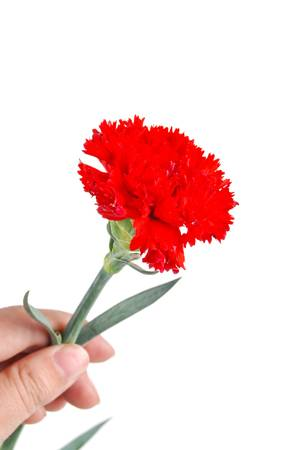 Carnation Stock Photo - 14328462