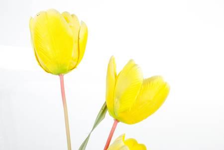 vernal: Tulips Stock Photo
