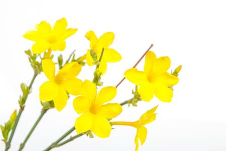 Jasminum nudiflorum photo