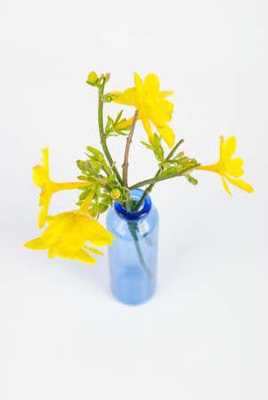 Jasminum nudiflorum photo