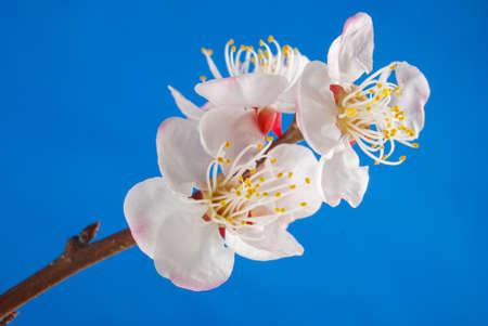 Peach blossom photo