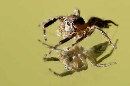 miror: a jumping spider and Reflection on a miror