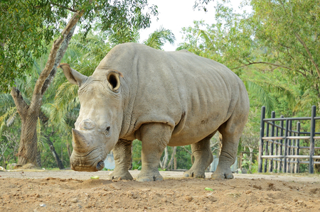 a rhino from a zoo of thailand