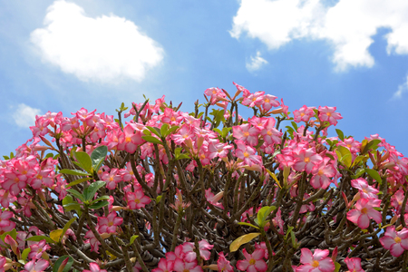 pink Azalea flowers with blue sky from thailand photo