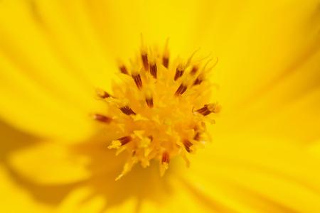 macro or closeup a single yellow flower photo