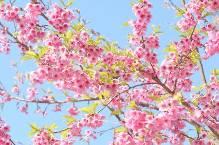 flor de sakura: Hermosa flor de flor de cerezo rosa sakura en Chiang rai Foto de archivo