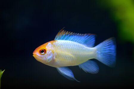 ramirezi: German Ram cichlid Mikrogeophagus ramirezi aquarium fish Stock Photo