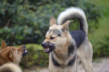 El perro se ve agresivo, peligroso y puede ser infectado por la rabia. Foto de archivo - 68185034