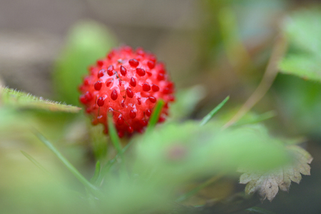 little strawberry in from north vietnam sapa province Stock Photo