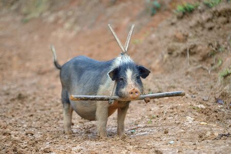 one small pig with bamboo collar from north vietnam