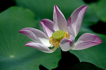 water plants: water lily. Lotus flower and carpel white Lotus flower plants