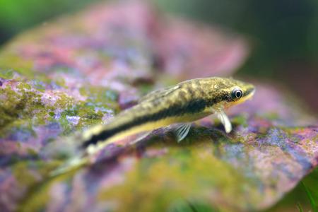 Close up of an otocinclus in planted aquarium Stock Photo