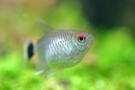 hyphessobrycon: close up tetra fish in tank and green plant