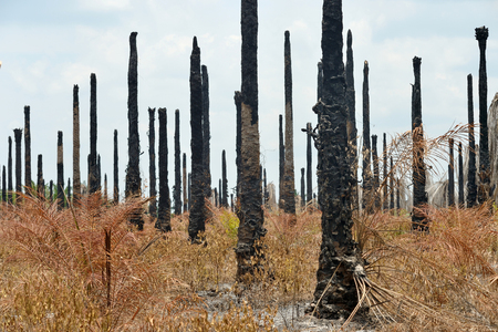 arid and burn tree in the South of thailand Stock Photo