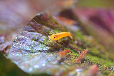 freshwater aquarium plants: close up orange and red shrimp in tank Stock Photo