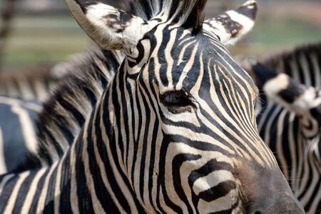 zebra skin: close up skin of zebra from thailand Stock Photo