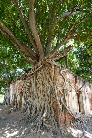 old temple in root of tree (Sang Kra Tai Temple)