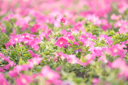 close-up group of pink flower in park of bangkok thailand