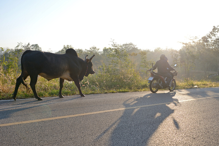 cow and cow-boy on  motocycle  in country road of thailand Stock Photo