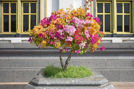 close-up Bougainvillea flower multi color