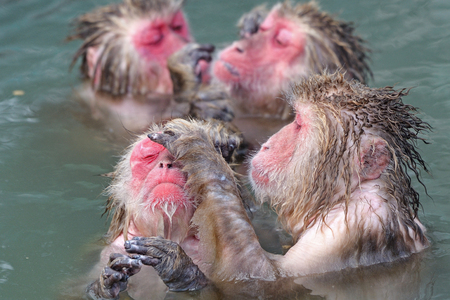monkey red face in hot water from japan