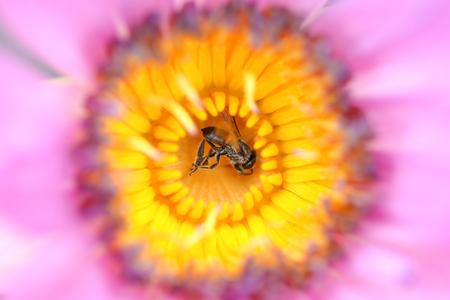 macro or closeup bee on lotus flower