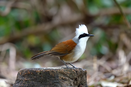 White-crested Laughing Thrush in forrest of thailand