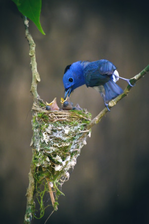 Black-naped Monarch bird and family in nature of thailand